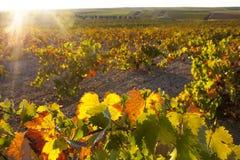 Piantagione delle viti nell'ambito della luce di tramonto di ottobre a Tierra de Barros Fotografie Stock