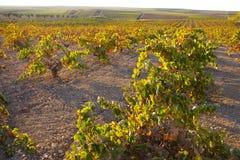 Piantagione delle viti nell'ambito della luce di tramonto di ottobre a Tierra de Barros Immagine Stock Libera da Diritti