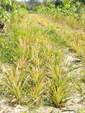 Piantagione di agricoltura dell'ananas Fotografie Stock Libere da Diritti