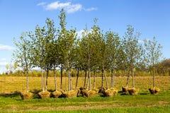 Piantagione di alberi Immagini Stock