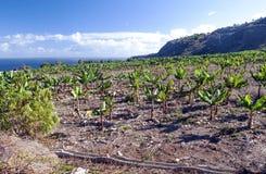 Piantagione di banana Immagine Stock