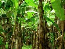Piantagione di banana Fotografie Stock