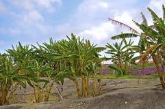 Piantagione di banana Immagini Stock
