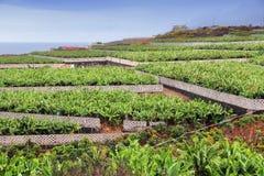 Piantagione di banana Fotografia Stock
