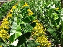 Piantagione di banana Immagine Stock Libera da Diritti