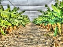Piantagione di banana Fotografia Stock Libera da Diritti