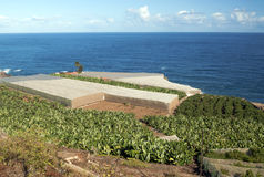 Piantagione di banana con gli alberi arancioni Fotografie Stock Libere da Diritti
