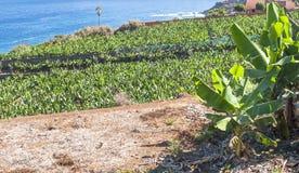 Piantagione di banana con il mare Fotografia Stock Libera da Diritti