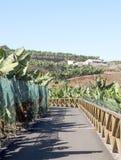 Piantagione di banana con la strada Immagini Stock