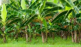 Piantagione di banana organica Fotografia Stock