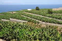 Piantagione di banana, Tenerife Spagna Fotografie Stock Libere da Diritti