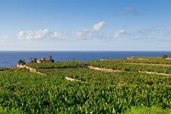 Piantagione di banana in Tenerife, Spagna Fotografia Stock Libera da Diritti