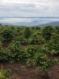 Piantagione di caffè Immagine Stock Libera da Diritti