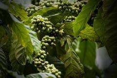 Piantagione di caffè in Coorg il Karnataka India fotografia stock libera da diritti