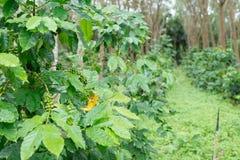 Piantagione di caffè nell'azienda agricola della piantagione dell'albero di gomma Fotografie Stock Libere da Diritti