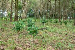 Piantagione di caffè nell'azienda agricola della piantagione dell'albero di gomma Fotografia Stock Libera da Diritti