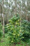 Piantagione di caffè nell'azienda agricola della piantagione dell'albero di gomma Fotografia Stock