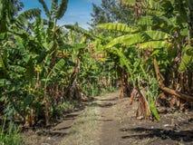 Piantagione di caffè in Tanzania Africa vicino al kilimanjaro Fotografia Stock