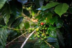 Piantagione di caffè vicino a Las Terrazas Fotografie Stock Libere da Diritti