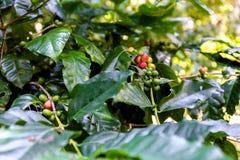 Piantagione di caffè vicino a Las Terrazas Fotografie Stock
