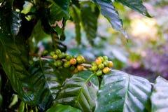 Piantagione di caffè vicino a Las Terrazas Immagini Stock Libere da Diritti