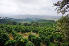Piantagione di caffè nella città rurale di Carmo de Minas Brazil Fotografia Stock