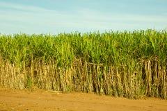 Piantagione di canna da zucchero Immagini Stock Libere da Diritti