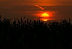 Piantagione di canna da zucchero della siluetta nel tramonto del fondo Fotografia Stock