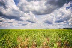 Piantagione di canna da zucchero e cielo nuvoloso - coutryside del Brasile Immagini Stock
