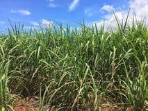 Piantagione di canna da zucchero, Fazenda, sao Paulo Stare Brazil Immagine Stock Libera da Diritti