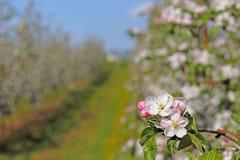Piantagione di fioritura della mela Un giovane frutteto dell'allineamento moderno su un pomeriggio soleggiato della molla Un fior Immagini Stock