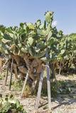 Piantagione di fioritura di Coccinellifera del cactus nel Cipro Immagini Stock