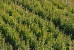 Piantagione di giovane albero sempreverde fotografia stock