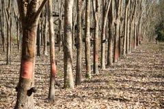 Piantagione di gomma Fotografia Stock Libera da Diritti