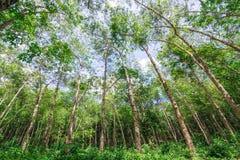 Piantagione di gomma nella foresta Fotografia Stock