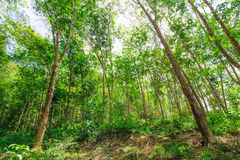 Piantagione di gomma nella foresta Fotografie Stock