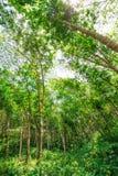Piantagione di gomma nella foresta Immagini Stock Libere da Diritti