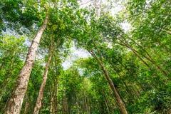 Piantagione di gomma nella foresta Immagine Stock Libera da Diritti