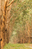 Piantagione di gomma in Tailandia Immagine Stock Libera da Diritti