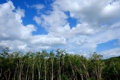 Piantagione di gomma in Tailandia Fotografia Stock Libera da Diritti