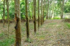 Piantagione di hevea brasiliensis o dell'albero di gomma nel Malacca, Malesia Immagine Stock Libera da Diritti