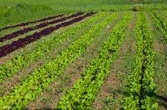 Piantagione di lattuga Fotografie Stock