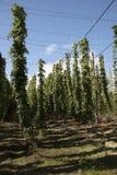 Piantagione di luppolo alla stagione Regno Unito del raccolto Immagine Stock Libera da Diritti