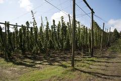 Piantagione di luppolo alla stagione Regno Unito del raccolto Fotografia Stock Libera da Diritti