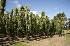 Piantagione di luppolo alla stagione Regno Unito del raccolto Fotografia Stock