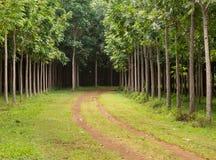 Piantagione di mogano in Kauai, Hawai Fotografia Stock Libera da Diritti