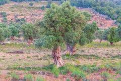 Piantagione di olivo in Mallorca Fotografia Stock Libera da Diritti