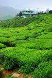 Piantagione di tè Immagine Stock