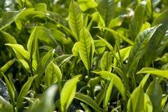 Piantagione di tè Immagini Stock Libere da Diritti