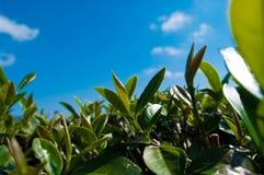 Piantagione di tè fotografie stock libere da diritti